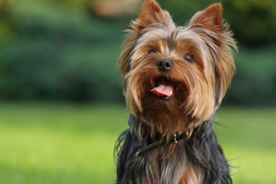 Yorkshire_Terrier_Yorkie_mini_dog